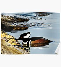 (✿◠‿◠) HOODED MERGANSER (✿◠‿◠) Poster