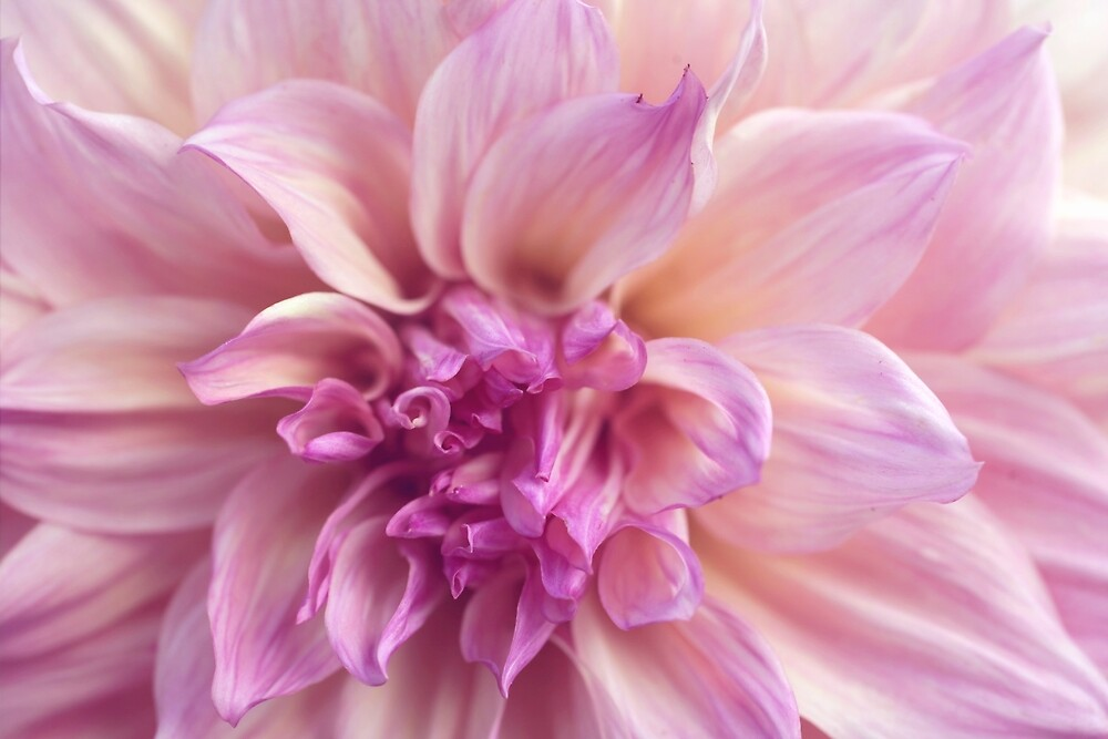 Pink Dahlia Flower Photography, Botanical Photography by aprilbernphoto