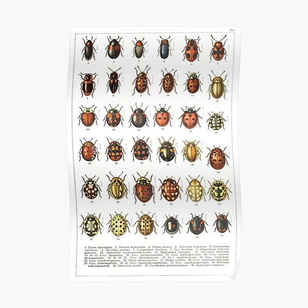 Ladybird Beetles Vintage Scientific Poster