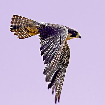 Peregrine by mcollins