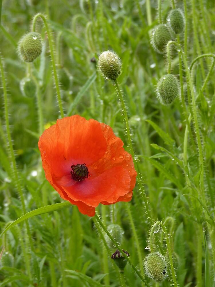 Poppies by Graham Geldard