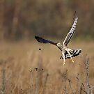 Hen Harrier (Circus cyaneus) by Richard Nicoll