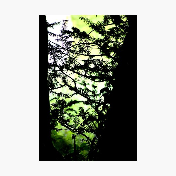 Shadows of the Yew Photographic Print