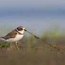 Semipalmated Plover Tug-O-Worm by Daniel Cadieux