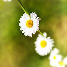 Daisy Chain 2 by Ellesscee