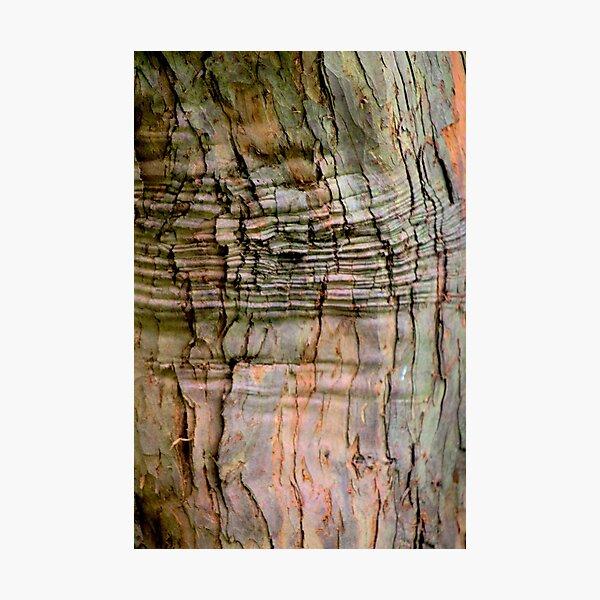 Yew tree bark texture Photographic Print