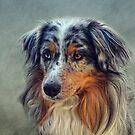 Australian Shepherd by lucyliu