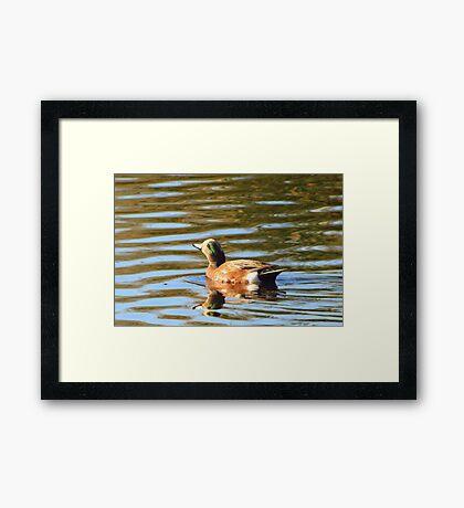 American Wigeon (Male) ~ Sunrise Seeker Framed Print