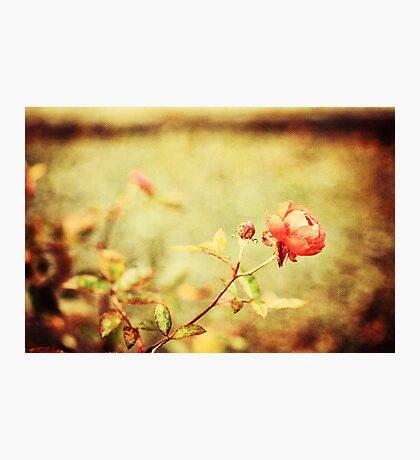 Little rose Photographic Print