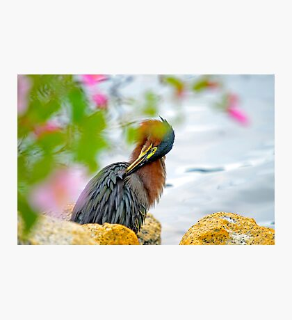 Green Heron Grooming - I've Got An Itch Photographic Print