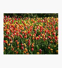Tulip Field Tulips Tulpenbluete Flowers Photographic Print