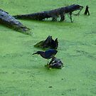 Green Heron Hunting Through Duck Grass by Scott Hendricks