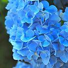 Blue Hydrangea Bloom by bunnij