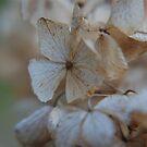 Faded Hydrangea Bloom by bunnij