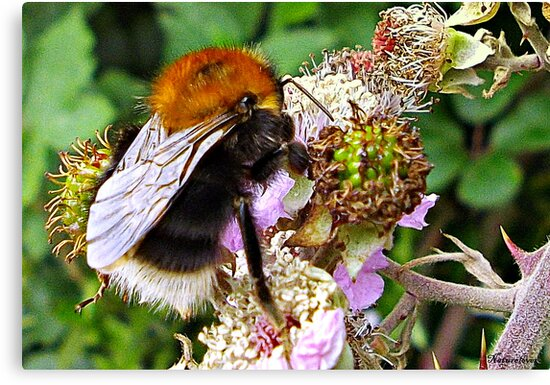 Miss Bee On Her Blackberry by naturelover