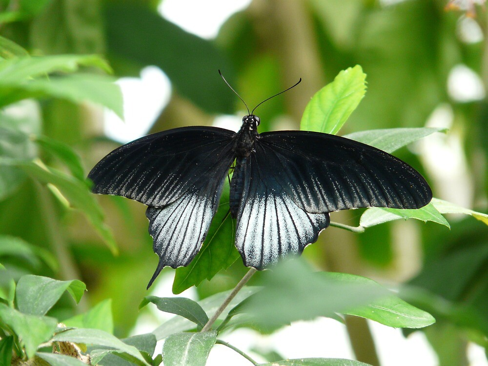 Papilio Ascalaphus Butterfly Black White by justforyou