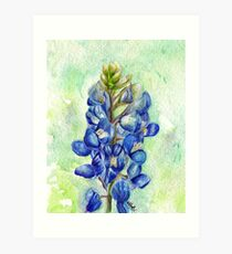 Texas Bluebonnet Wildflower Art Print
