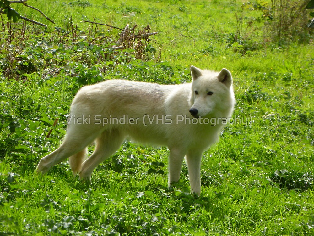 Glowing Wolf by Vicki Spindler (VHS Photography)