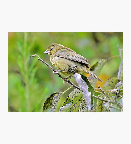 Female Painted Bunting Photographic Print