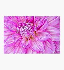 Dahlia Swoon Photographic Print