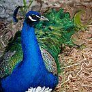 Peacock  by zzsuzsa