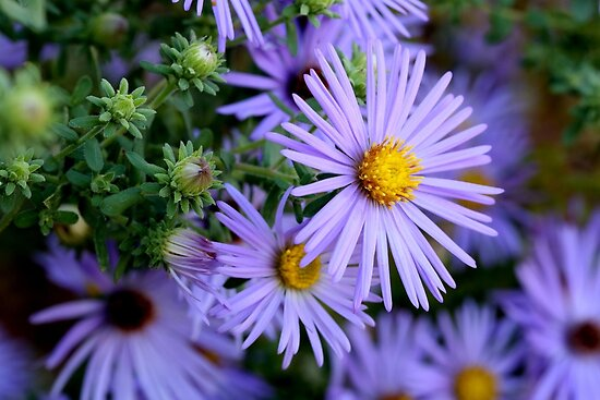 Studio Dalio - Hardy Blue Aster Flowers Poster