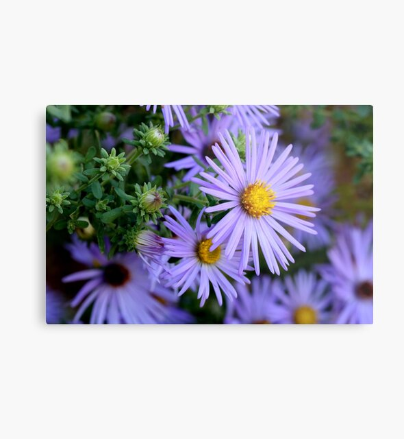 Studio Dalio - Hardy Blue Aster Flowers Metal Print