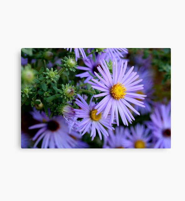 Studio Dalio - Hardy Blue Aster Flowers Canvas Print