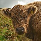 Teddy Cow by Kat Simmons