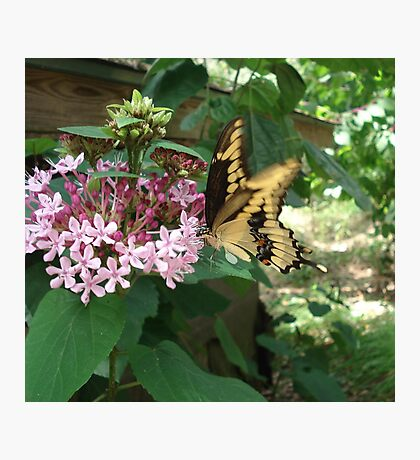 GIANT SWALLOWTAIL ON CLERODENDRON Photographic Print