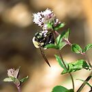 Bumble Bee by Veronica Schultz