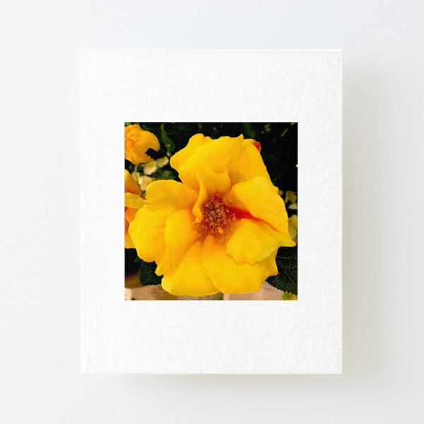 Yellow Rose with Red Stripe. Canvas Mounted Print