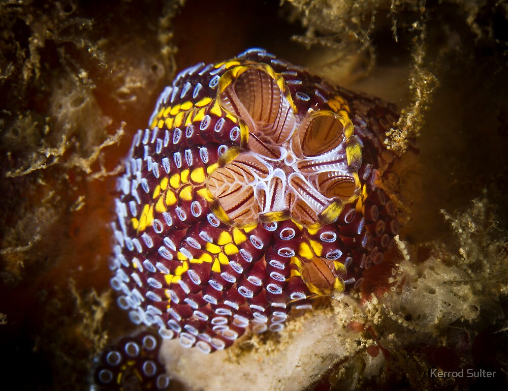 Top View Of The Magnificent Ascidian by Kerrod Sulter