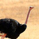 Ostrich portrait by David McGilchrist