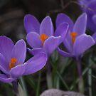Purple Crocuses by Karyn Boehmer