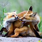 Fox kits, exercise in dominance by amontanaview