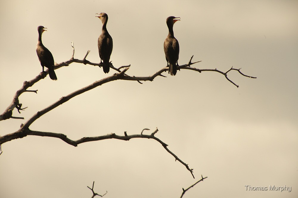 The Snappy Conversation of Cormorants by Thomas Murphy