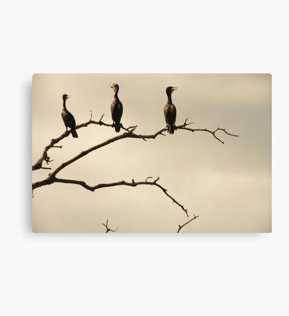 The Snappy Conversation of Cormorants Canvas Print