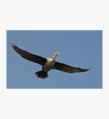 Flying Cormorant Photographic Print