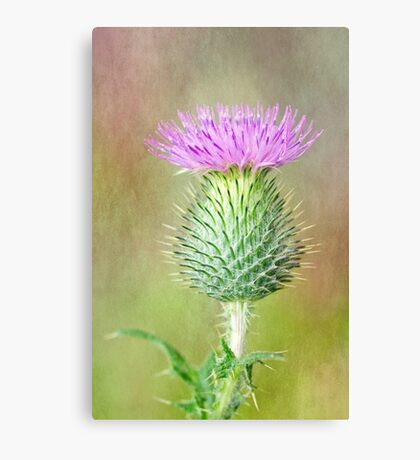 Textured Spear Thistle Canvas Print