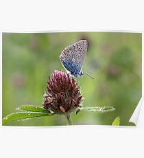 Common Blue on Red Clover - Polyommatus icarus Poster