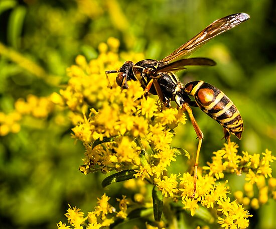 Yellow Wasp On Yellow Flower 1 by Thomas Young