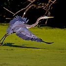 Great Blue Heron Take Off by John Absher
