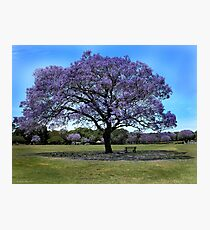 100 Year Old Jacaranda Tree Photographic Print