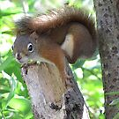 Nervous red squirrel by hummingbirds