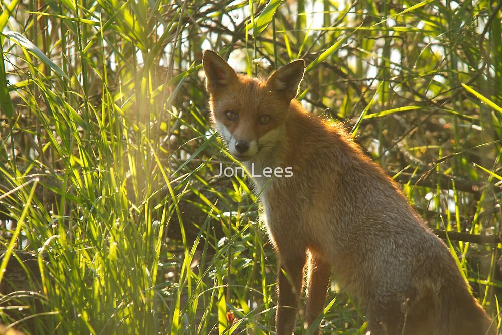 European Red Fox by Jon Lees