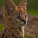 Serval Kitten Portrait by JMChown