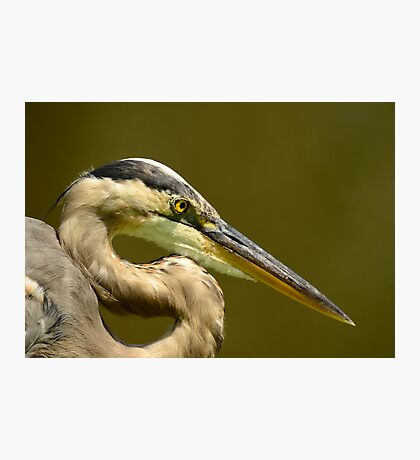 """GIANT """"S"""" WITH A BEEK (Great Blue Heron) Photographic Print"""