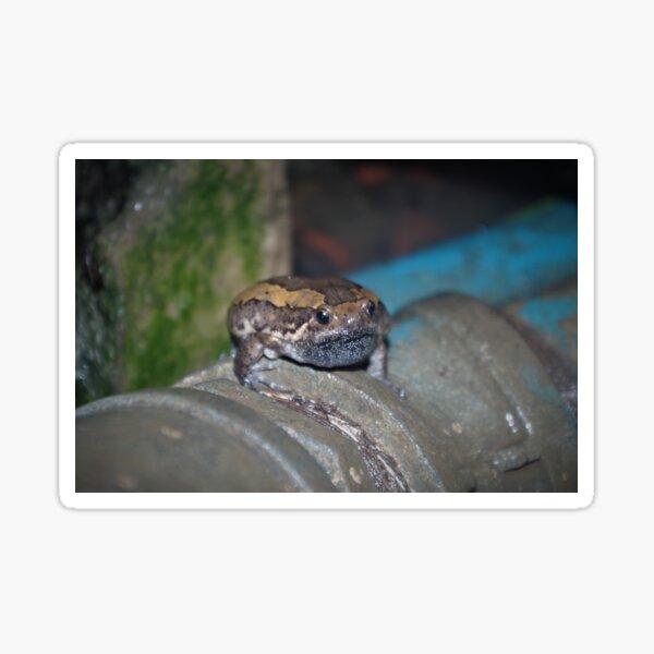Banded Bullfrog Sticker