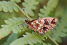 Lesser Marbled Fritillary - Brenthis ino by Lepidoptera